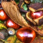 Conkers and acorns